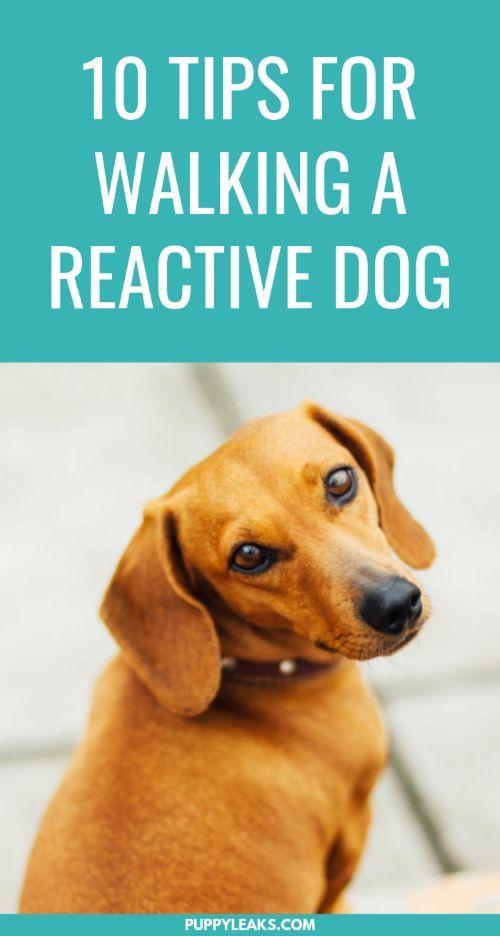10 Tips For Walking Your Reactive Dog Reactive Dog Dog Training