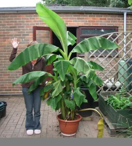 Keep In Banana Plants And Plants On Pinterest