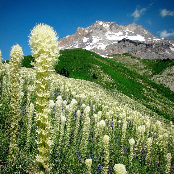 The Glorious Flanks of Mt. Hood (Oregon) and fields of Bear Grass... by Erik Hovmiller, via Flickr