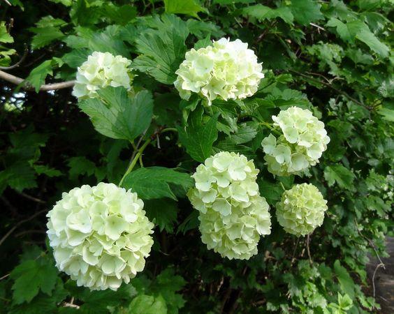 Der Gewöhnliche Schneeball (Viburnum opulus) - hier in der Auslese 'Roseum' - ist zwar nicht gerade eine Rarität, aber mit Blüte, Fruchtschmuck und Herbstfärbung hat er immer wieder interessante Aspekte zu bieten.