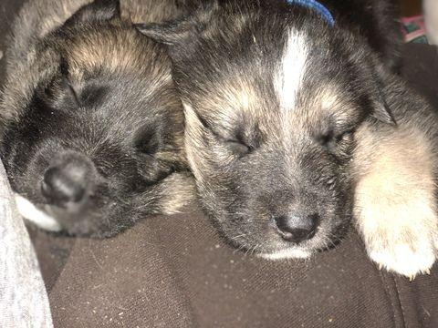 Gerberian Shepsky Mix Puppy For Sale In Dahlonega Ga Adn 66374