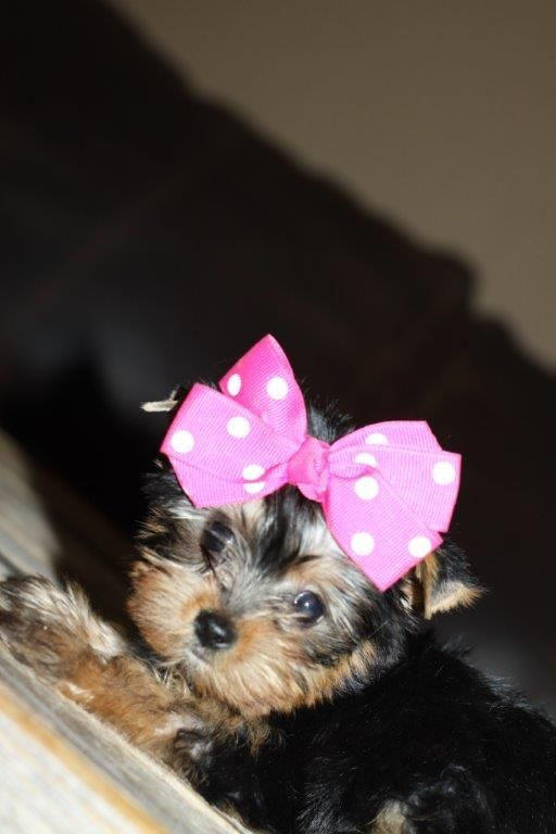 Wild West Yorkies Txyorkie Com Yorkie Puppies For Sale In Texas Past Puppies Black And Gold Yorkies With Images Yorkie Puppy For Sale Yorkie Puppy Really Cute Puppies