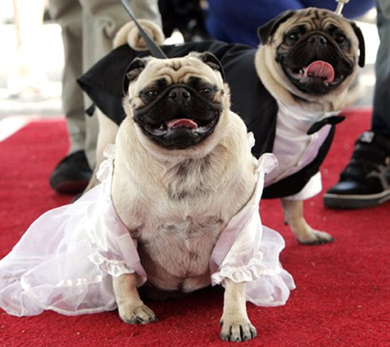 """The record for the largest dog 'wedding' ceremony was achieved by 178 dog pairs. The wedding called """"Bow Wow Vows event"""" was organised by the Aspen Grove Lifestyle Center in Littleton, United States, on 19 May 2007. http://weddingsinthesky.blogspot.com/2013/02/weddings-guinness-world-records.html"""