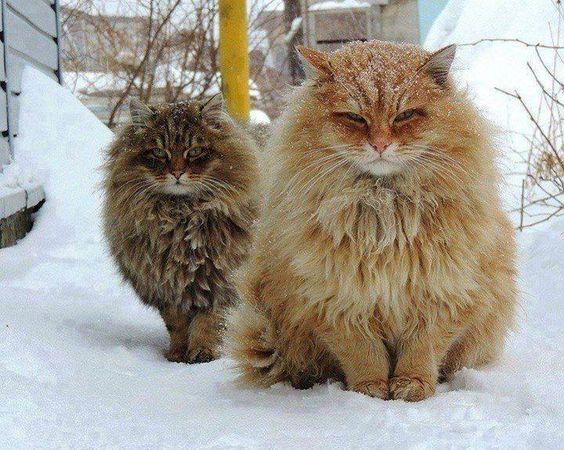 Norwegische Katzen.
