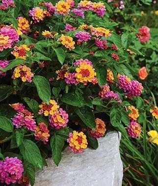 Lantana Landmark Rose Sunrise Container Flowers Heat Tolerant Flowers Lantana