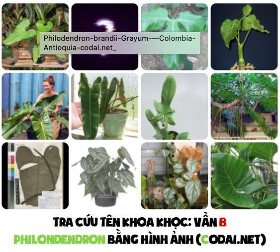 Tra cứu nhanh tên khoa học các loài Philodendron bằng hình ảnh: Các loài Philodendron có tên bắt đầu bằng vần A