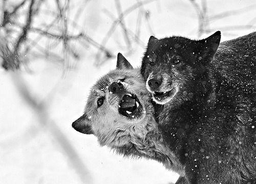 Loup Noir Gris Blanc Ensemble En 2020 Loup Noir Loup Gris