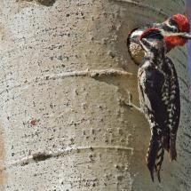 Red-Naped Sapsucker (Male And Female), Nature Trail, Logan lake, British Columbia; Photo by: alan/elaine wilson