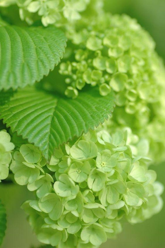 Verde hortensia