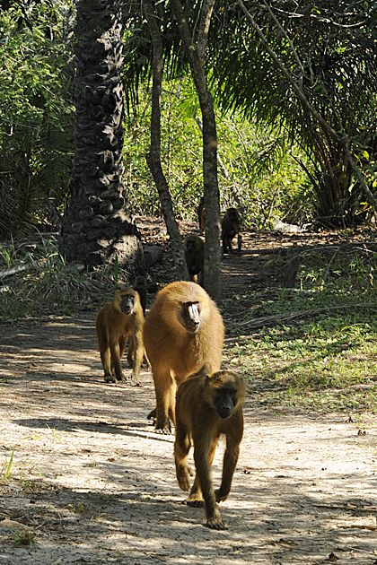 The Gambia - The baboons of Makasutu Forest