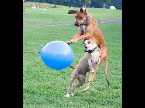 307 Dogs Playing With Balloon Video Youtube With Images