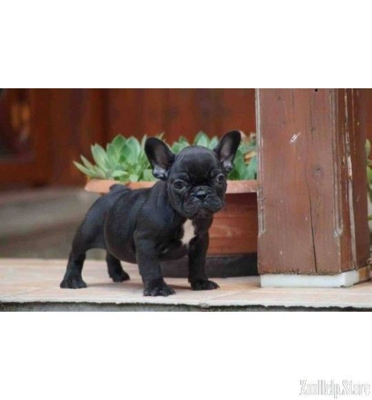 French Bulldog Price 1 500 With Images French Bulldog