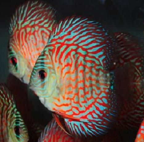 Galaxy red turquoise discus fish 2 inch turquoise red for 7194 garden pond