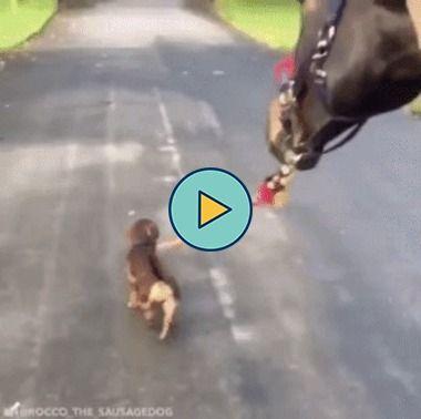 cachorrinho leva o cavalo pra passear