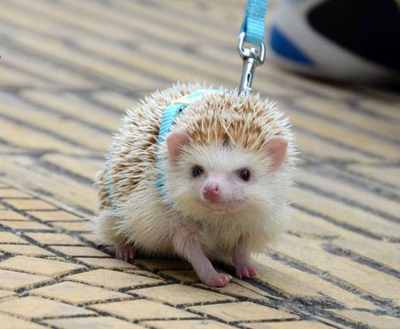 The newest trend: walking hedgehogs!