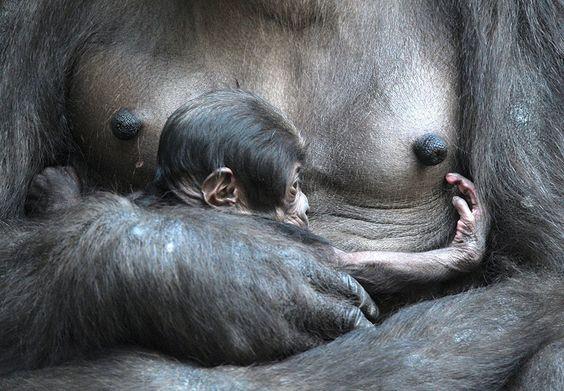 IlPost - Un cucciolo di gorilla nello zoo di Lipsia, Germania. (PETER ENDIG/AFP/Getty Images)