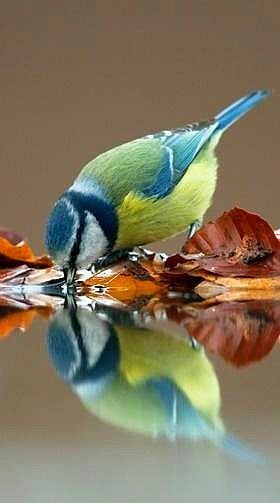 Bluetit. Gorgeous photograph with reflection. Don't know who the photographer is.
