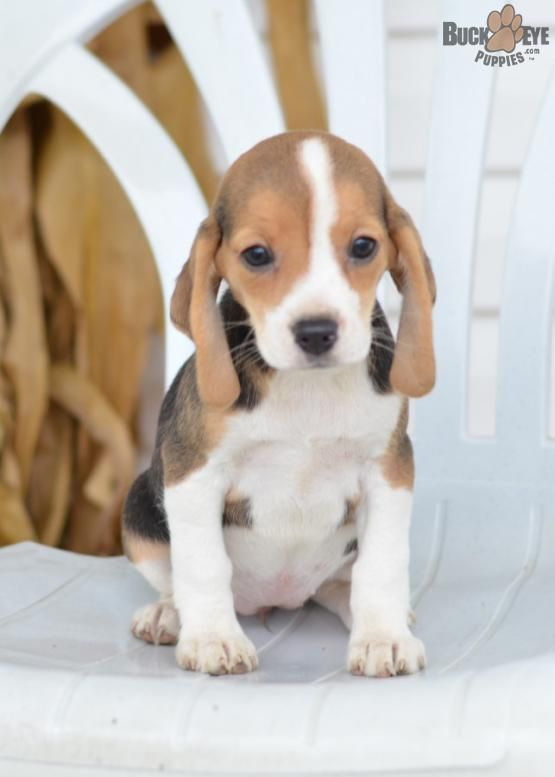 Tessa Beagle Puppy For Sale In Sugarcreek Oh Buckeye Puppies Dog Training Beagle Puppy Beagle Dog