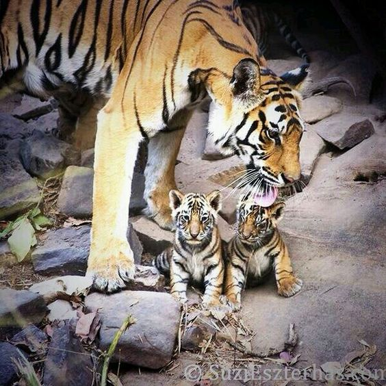 Twins tijger