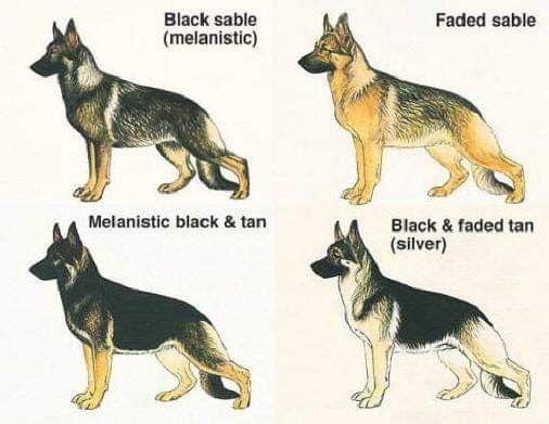 German Shepherd Colors Image By J Vanvlair On German Shepherds