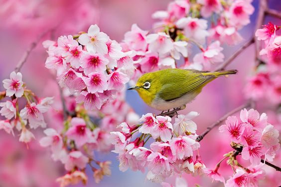 21 Of The Most Beautiful Japanese Cherry Blossom Photos Of 2014 | Bored Panda: