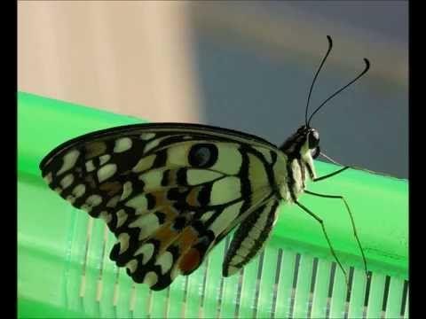 Foto Blog Puerto Rico: Papilio Demoleus de Gusano a Mariposa