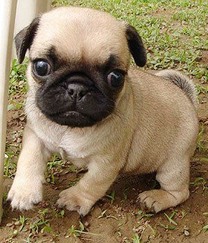 Pug or Dutch Bulldog Puppy. This is an even-tempered breed, exhibiting stability, playfulness, great charm, dignity, and an outgoing, loving disposition.