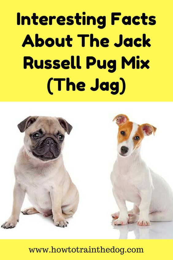 Interesting Facts About The Jack Russell Pug Mix The Jag How To Train Your Dog Pug Mix Pug Puppies Pugs