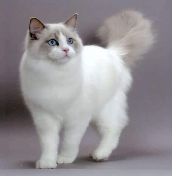 Mix maine ragdoll coon and All About