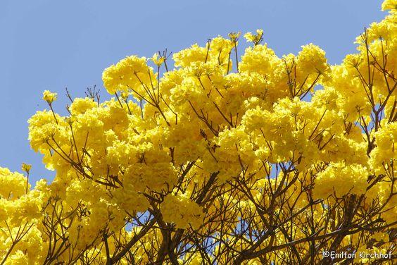 Ipê Amarelo via Enilton Kirchhof in Flickr