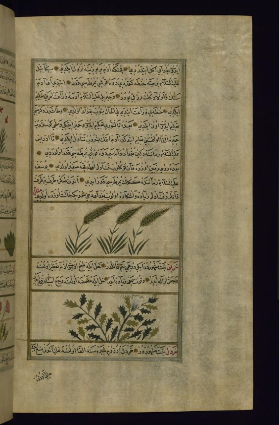Fol 230b Wheat ḥinṭah And Hellebore Kharbaq Isaretler Arkeoloji