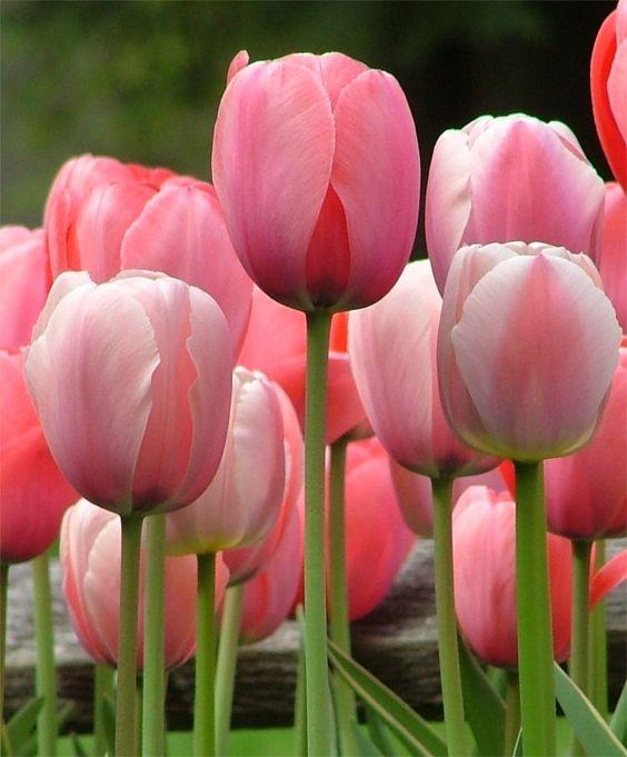 Tulip Pink Impression Giant Darwin Hybrid Tulips Tulips Flower Bulb Index Planting Tulips Bulb Flowers Flowers