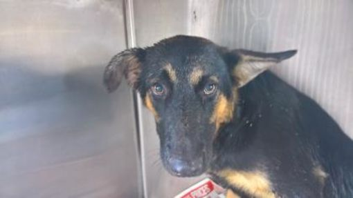 Fort Worth Tx German Shepherd Dog Meet 38788615 A Dog For Adoption German Shepherd Dogs Shepherd Dog Mix Dog Adoption