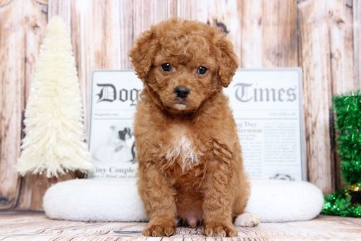 Golden Retriever Poodle Toy Mix Puppy For Sale In Bel Air Md