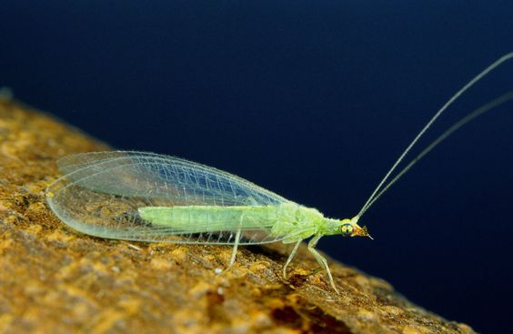 Green Lacewing, Orange County, CA. © Peter J. Bryant. http://nathistoc.bio.uci.edu/neuropt/10730008.JPG
