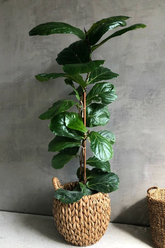 We love the versatility of Ficus Lyratas, as they truly make any space come to life. Provide bright, indirect light and keep the soil lightly moist for healthy, happy foliage.