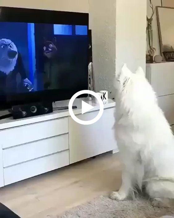 cachorrinho assistindo e imitando os cachorros da televisao