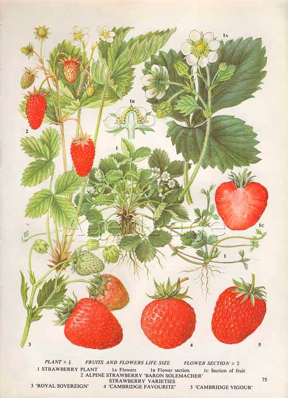 Vintage Botanical Print Food Plant Chart Art by AgedPage on Etsy, $10.00