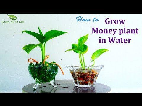 How To Grow Money Plant In Water Money Plant Growing Ideas Money Plant Decoration Money Plants Youtube Money Plant In Water Money Plant Money Plant Indoor