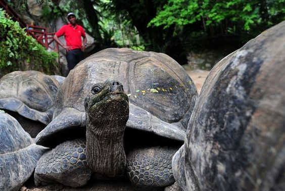 """""""Eventually...""""..An Aldabra giant tortoise shown in los angeles Times article """"10 shocking facts about turtles?"""" http://www.latimes.com/news/science/sciencenow/la-sci-sn-10-shocking-facts-about-turtles-20130409,0,2772814.photogallery?index=la-sci-sn-10-shocking-facts-about-turtles-2013"""