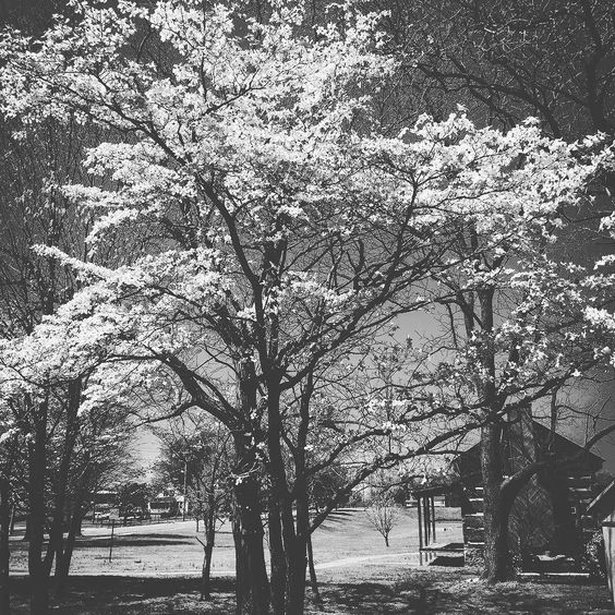 The trees are blooming in Tennessee. So pretty. We've loved exploring Tennessee. Nashville David Crockett state park and now the smoky mountains. Not a bad state I must say. by suburban_pilgrims