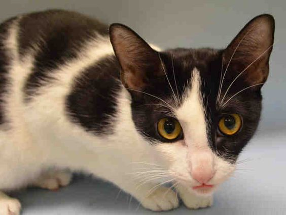 AMBER - A1088227 - - Manhattan  ***TO BE DESTROYED 09/06/16***AMBER ALERT – BLACK AND WHITE 1 YEAR OLD KITTY surrendered for no time. She's only just begun her life and her former owners decided now that summer is over, why not dump off Amber at the ACC. So, off they went, surrendering this little gem to a place that tells them flat out their pet probably won't make it out. How do you walk away after hearing that? Poor Amber is so scared and hissed at the