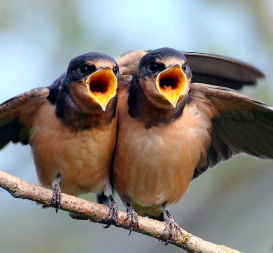 theperfectworldwelcome: Barn swallows by Mick Thompson via The National Audubon Society
