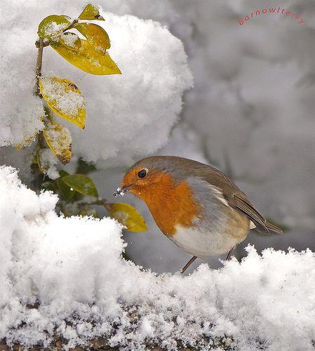 Robin taken in the garden | barnowlterry | Flickr