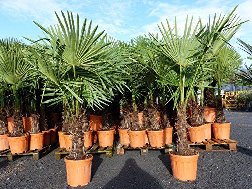Trachycarpus Fortunei Winterharte Hanfpalme Gratis Citrus Limon 25 35 Cm Inkl Topf Pflanzenmasse Circa Masse Je Nach P Bonsai Plants Beautiful Pictures