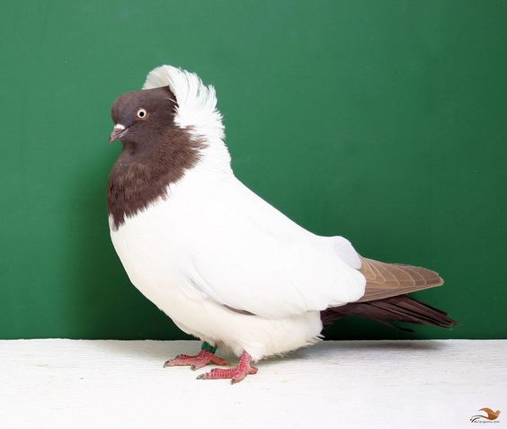 red fantail pigeon - 564×477