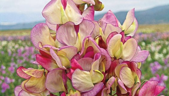 Delightfully scented tricolor blooms of  Sweet Pea 'Spanish Dancer' is an ideal cut flower.