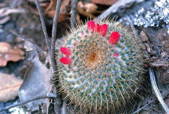 Mammillaria flavicentra - ML 194 - Foto: Michel Lacoste