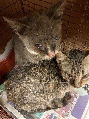 Austin Tx Domestic Shorthair Meet Crowley A Pet For Adoption Pet Adoption Pets Adoption