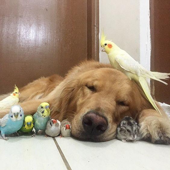 Un chien a comme meilleurs amis 8 oiseaux et un hamster -
